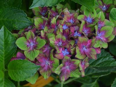 Vielversprechende Garten-Hortensien