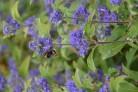 Spätblühende Insektennahrung