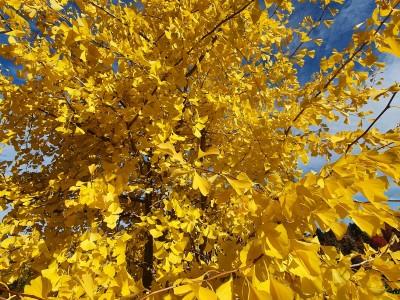 Herbstlicht - wenn Blätter leuchten