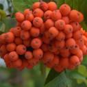 Fruchttragende Gehölze