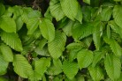 Heckenpflanzen